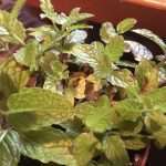 Mint Leaves Turning Brown