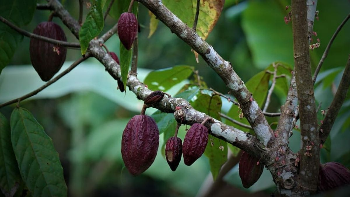 What are Coca Plant Seeds? The Best Guide for You!