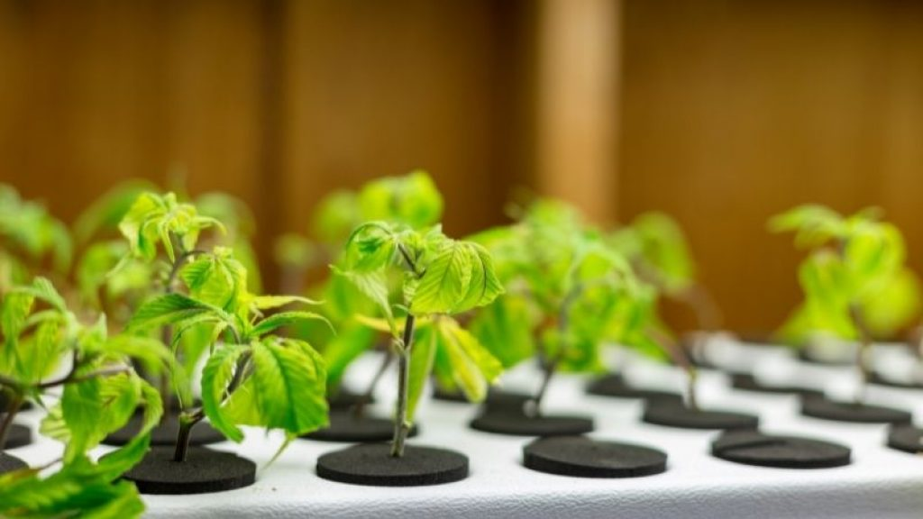 Plant cuttings' are placed for cloning.