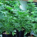 Know how to Clone Plants and What is the Best Cloning Method