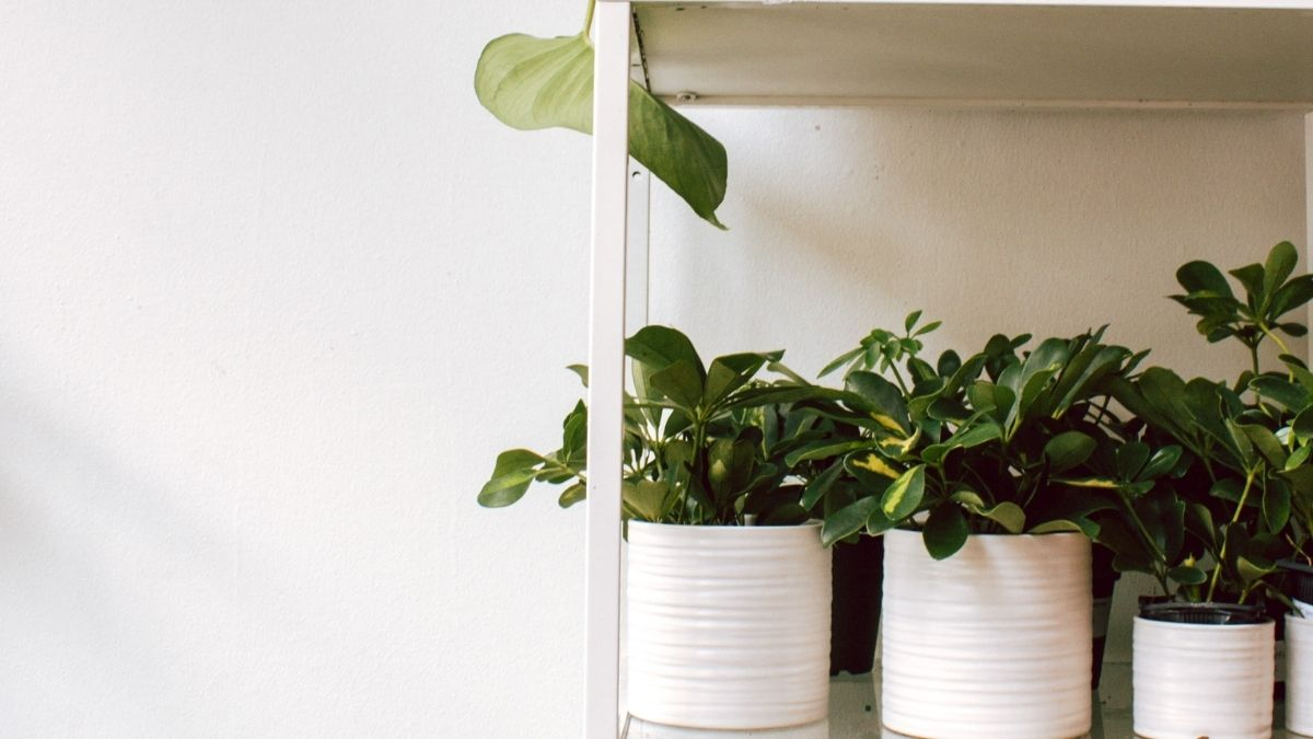 Know Plant Height to Pot Size Ratio Now   Do Smart Gardening