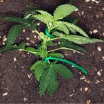 Know About The best soil for Autoflowers: The Supreme Guide