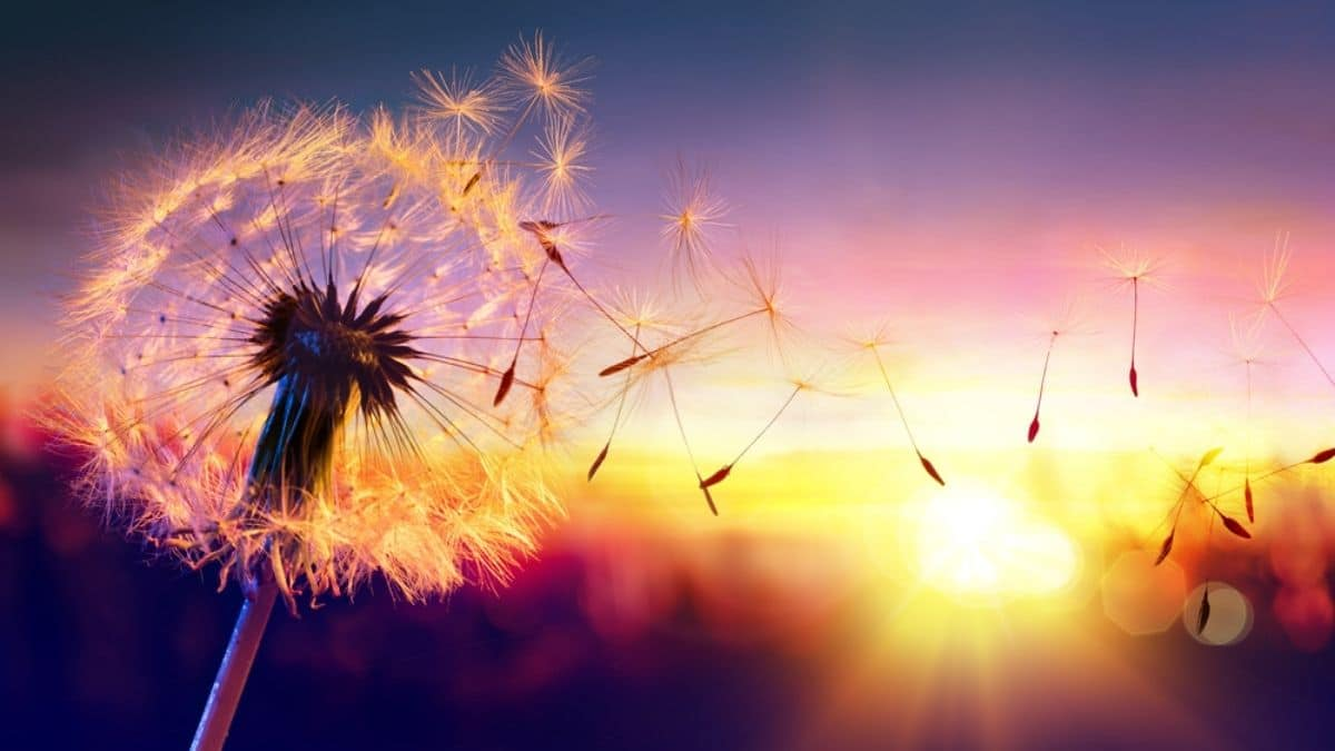 How to fix Dandelion Infested Lawn? – Best Ways to Kill Dandelion