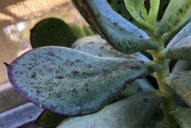 Black Spots on Succulents- 7 Causes With Cures