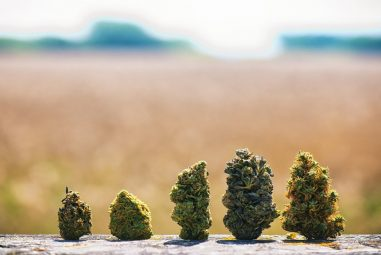 How Long Does It Take To Dry Weed?