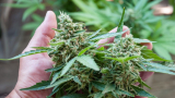 How Long Before Buds Appear? Cannabis Plants' Weekly Guide
