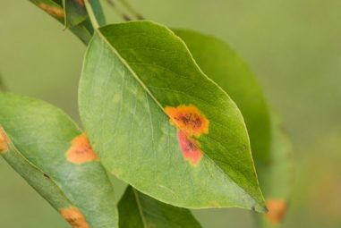 Rust Spots on Leaves during Flowering: Know Why these Occur