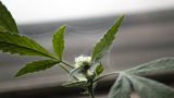 Spider Mites On Buds At The Time Of Harvest